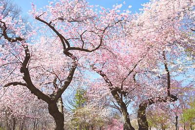 Branch Brook Cherry Blossoms