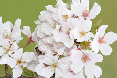 White Yoshino Cherry Blossom Cluster