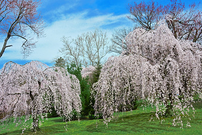 Branch Brook Park Weeping Cherry Trees