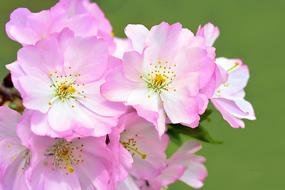 Pink Cherry Blossoms on Green
