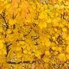 Autumn Gold Maple Tree
