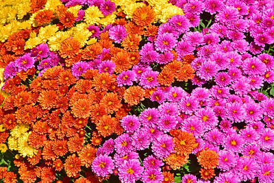 Mums in Three Colors