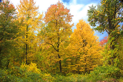 Maple Leaves Golden Glow
