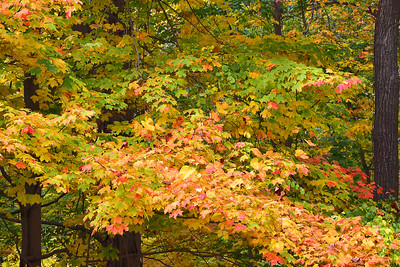 Autumn Maple Tree Foliage