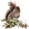 Grey Squirrel Winter Portrait