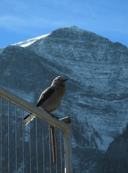 Clarks nutcracker at Lake Louise<br /> Banff National Park, Alberta, Canada