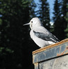 Clarks nutcracker in Lake Louise parking lot<br /> Banff National Park, Alberta, Canada