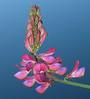 Sainfoin (<i>Onobrychis viciifolia</i>) against Quarry Lake Canmore, Alberta, Canada