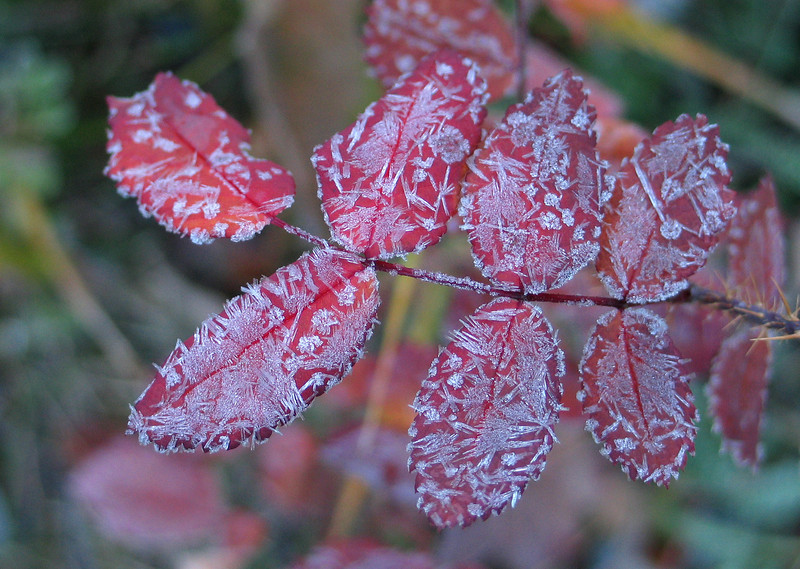 Frosted leaves at dawn by Moraine Lake<br /> Banff National Park, Alberta, Canada