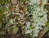 Reindeer & pixie cup lichens, moss, bunchberry along Silverton Creek<br /> Banff National Park, Alberta, Canada