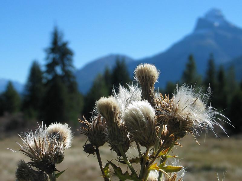 "Canada thistle <span class=""nonNative"">[non-native]</span> Banff National Park, Alberta, Canada"