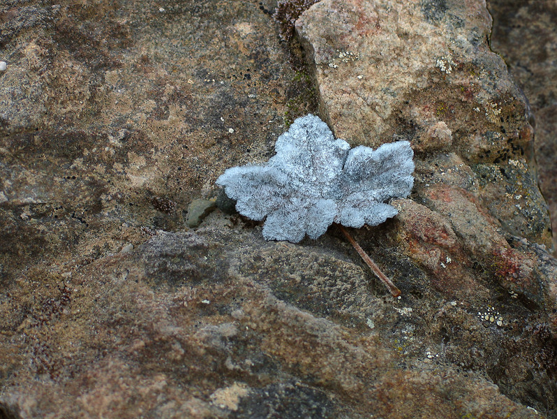 Surprisingly frosted leaf on rocks at dawn by Moraine Lake<br /> Banff National Park, Alberta, Canada