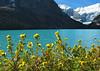 Shrubby cinquefoil (<i>Dasiphora fruticosa</i>, formerly <i>Potentilla fruticosa</i>) at Lake Louise  Banff National Park, Alberta, Canada