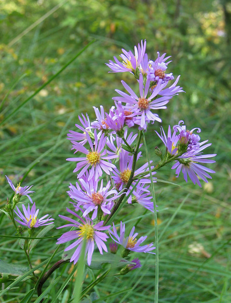 Purple aster along Cave & Basin Marsh Trail<br /> Banff Townsite, Alberta, Canada