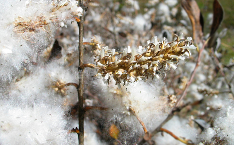 Plant dispersing cottony seeds at Moose Meadows<br /> Banff National Park, Alberta, Canada