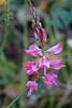 Sainfoin (<i>Onobrychis viciifolia</i>) at Quarry Lake Canmore, Alberta, Canada