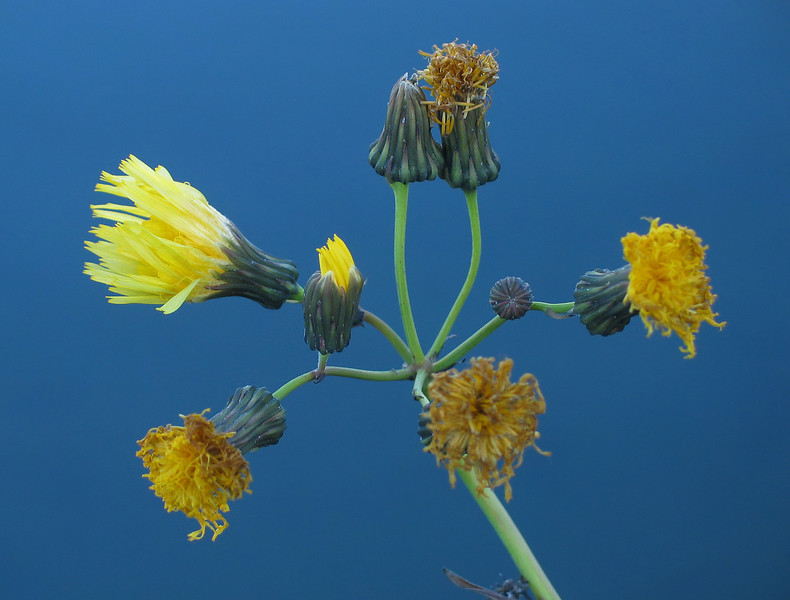Hawkweed against Quarry Lake<br /> Canmore, Alberta, Canada