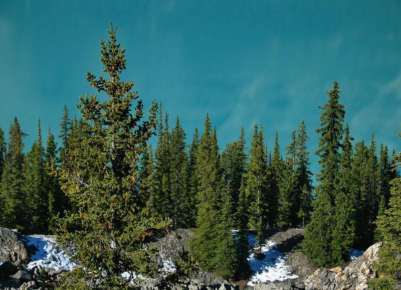 Evergreens against Peyto Lake<br /> Banff National Park, Alberta, Canada