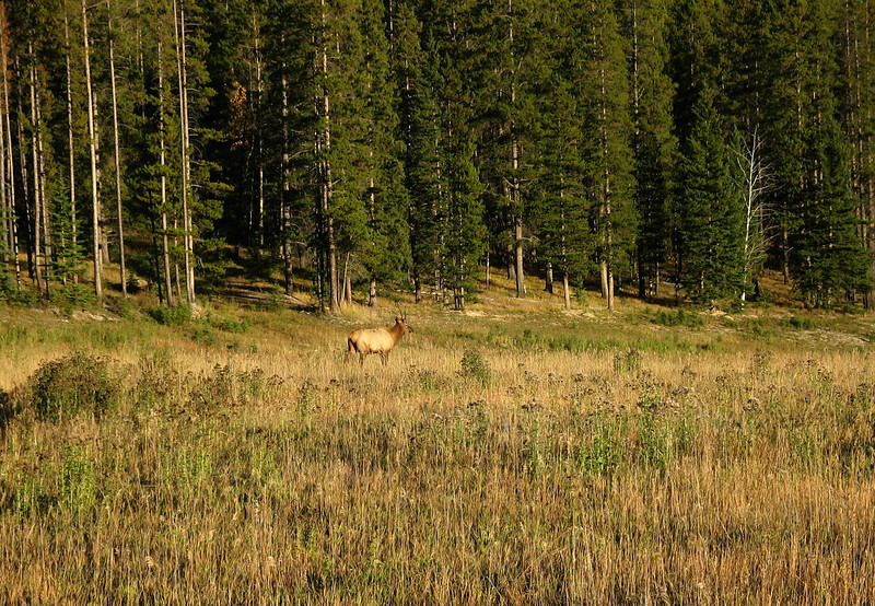 Stag elk at sunset near Johnson Lake<br /> Banff National Park, Alberta, Canada