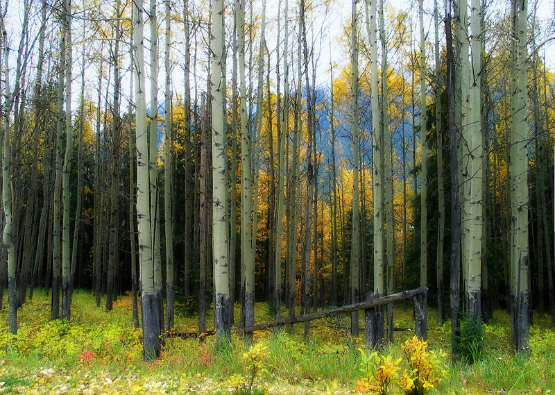 Aspens at Muleshoe Area<br /> Banff National Park, Alberta, Canada