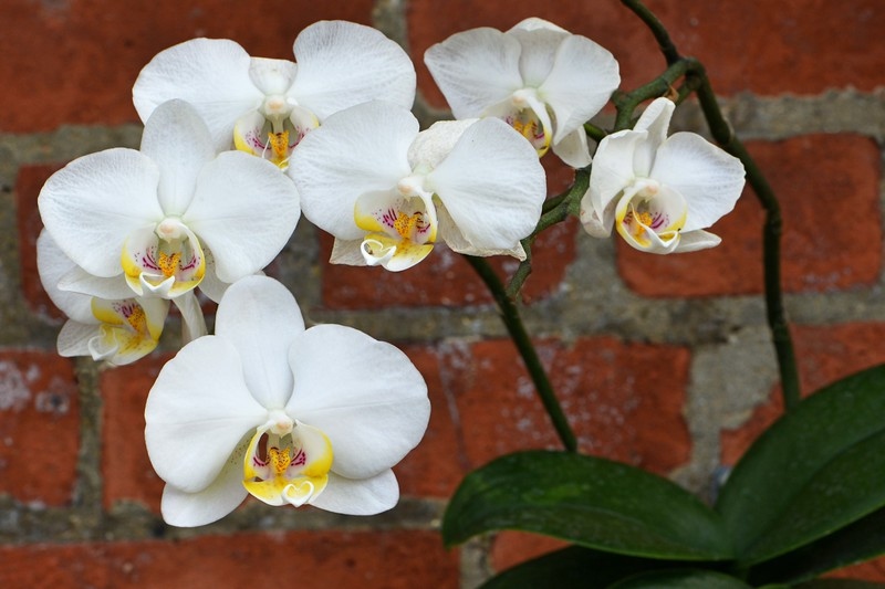 Orchid 11
