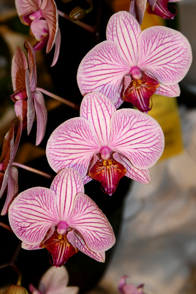 OR 3 paph Violescens