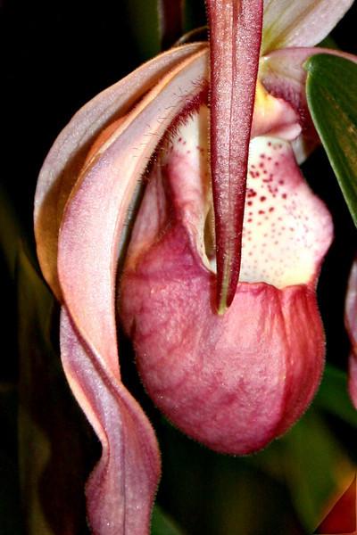 OR 10 Phrag  Albopurpureum