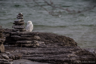 Snowy Owl, Jan 11 2012, Amherst Island