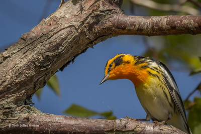 Blackburnian Warbler, Prince Edward Point,May 16 2013, #9331