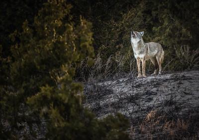 Coyote, Presqu'ile Provincial Park, April 15 2015.Canon 7D MarkII,100-400mm, 1/1000,F7.1,ISO1600