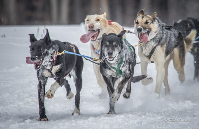 Marmora Sled Dog Races, January 31,2015, Marmora, Canon 7D mark2, 100-400 mm, 1/1250,F8.0,ISO640