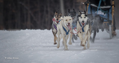 Marmora Sled Dog Races, January 31,2015, Marmora, Canon 7D mark2, 100-400 mm, 1/1250,F8.0,ISO 500