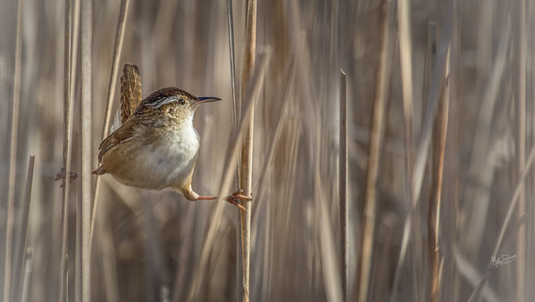 Marsh Wren, Presqui'le Provincial Park, Marsh Boardwalk, May 4, 2017, Canon 7D MarkII, 1/1250, F7.1, ISO 400