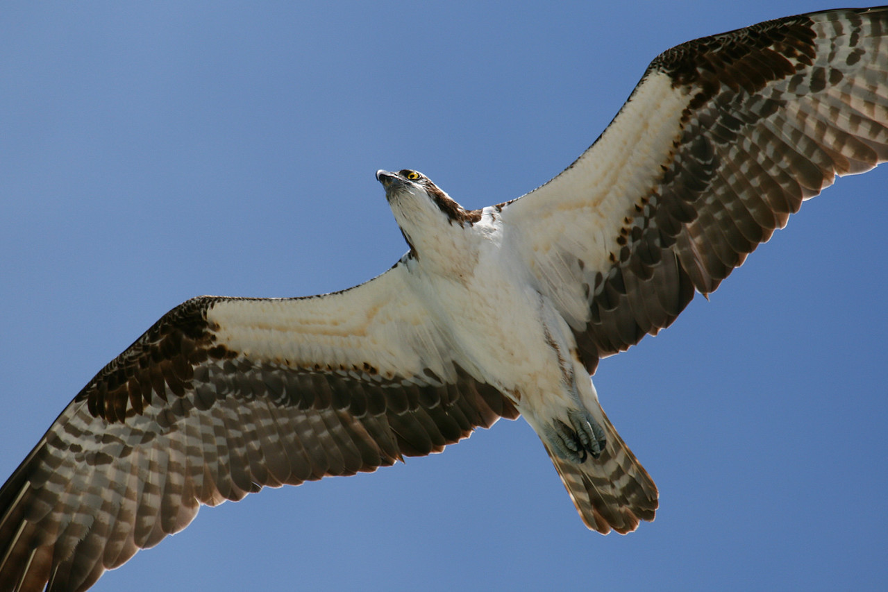 "Osprey season! - 3/2<br /> It's mating season and the osprey are out in force. I've spotted pairs of osprey all over southwest Florida - from Pine Island to Lover's Key and even in the cities of Cape Coral and Fort Myers. Their whistling and shrieking call is a sure indication when they're in the area - not to mention the huge pile of sticks that they accumulate for a nest. Their frequent trips to and from these giant nests means many good photo opportuinites of them in flight as they pile on more and more sticks. I've staked-out a couple of nests on the western shoreline south of Estero Island, and will keep returning there to get better shots.<br /> - See more osprey photos in my  ""Birds of Florida"" gallery"