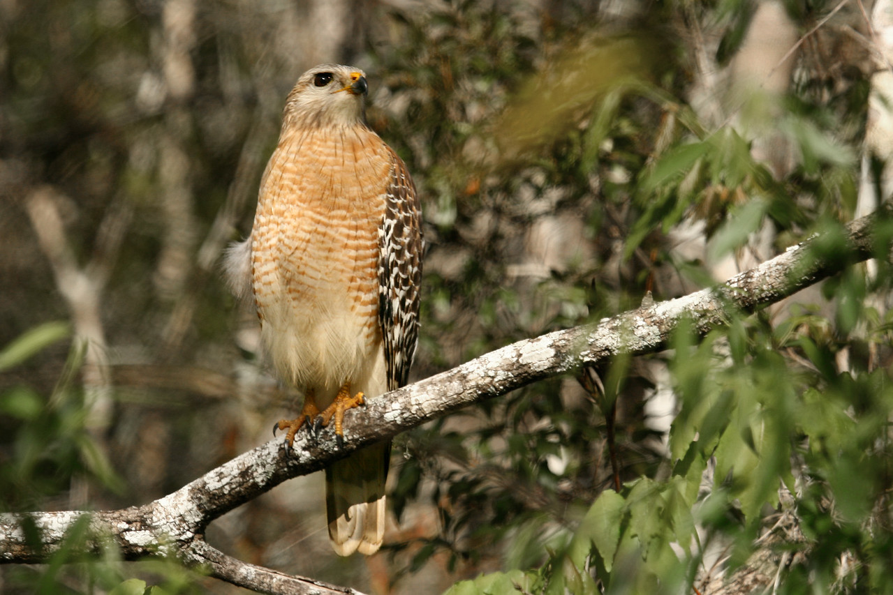 "Red Shouldered Hawk - 12/29/2007<br /> While visiting the Fakahatchee Strand Preserve I was able to approach very close to a couple of these magnificent Red Shouldered Hawks. The first one I spotted while driving very slow on the main scenic road (a dirt trail really...). It stayed put and posed for me while I got out of the car and walked over for a close-up. This guy then dropped into a pond and took a quick bath! Unfortunately behind some thick bush so I couldn't get in for a good shot. Later in the day while walking the same trail another hawk posed for more shots. These hawks were very approachable and didn't seem afraid at all.<br /> - See original photo in my ""Birds of Florida"" gallery"