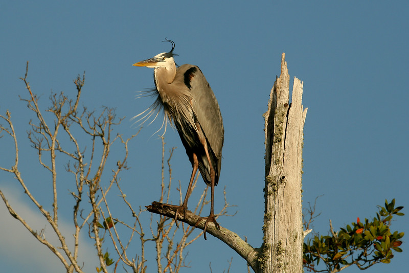 "Look up - but watch your feet! - 3/18<br /> Wow! I was setting out to revisit the ospreys on Lover's Key when I spotted this Great Blue Heron posing in a dead tree. I couldn't resist, and had to stop to take a bunch of shots of this guy. While I was focusing on the heron, I was maneuvering through the tall grass and sea oats with my tripod. I heard the snake before I saw it - looking down I spotted a long black snake taking off by my feet. It was most likely a black racer and luckily I didn't step on it. Moral: be aware of your surroundings, and don't forget to watch your step. <br /> - See more of this great blue heron in my  ""Birds of Florida"" gallery"
