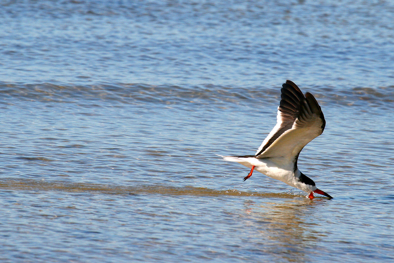 "Black Skimmers! - 1/29<br /> I've been trying to get this shot for awhile, and will keep trying to get better ones. This is the Black Skimmer in feeding mode. This bird feeds by dropping his lower beak into the water and skimming across the surface. When the beak hits something - like a fish - it will pivot its' head and snap up the morsel. These guys travel in sizeable flocks, and exhibit some comical behavior: they'll rest with their bill tucked under their wings, all facing the same direction, they belly-bump other birds off the beach, and their tiny feet - long bill - and peeping call combine to make them the comedians of the bird world.<br /> - See more skimmers in my ""Birds of Florida"" gallery"