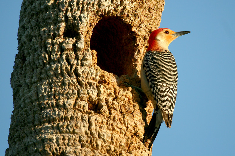 "Red-bellied woodpecker - 4/20<br /> OK, here's an example of a many-month's long exercise in persistence... I have been shooting lots of lousy photos of this bird species. I could never seem to get them in sunlit conditions, and they have a habit of always being on the other side of the tree from the light. I spotted this nesting hole in a dead palm while shooting on Sanibel. After waiting an eternity (10 mins.) I spotted a pair of red-bellies making trips in and out. My first attempts at shooting them were lousy 'cuz the morning sun was on the left side, again - so ""AHA!"" I thought... Come back in the evening when the sun is shining on the hole and wait for the birds to land. Finally - here's the result.<br /> - See them in my ""Birds of Florida"" gallery."