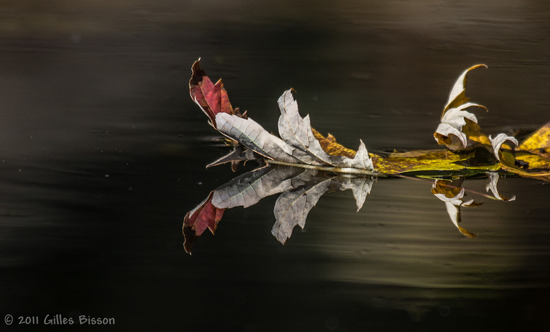 Floating Fall leaves in Moira River, Oct 10 2011