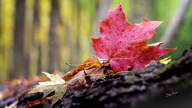Maple leaf, Frink Conservation Area, October 05, 2020, Sony 7R4, 24-105mm, .1/3sec, F8, ISO 200