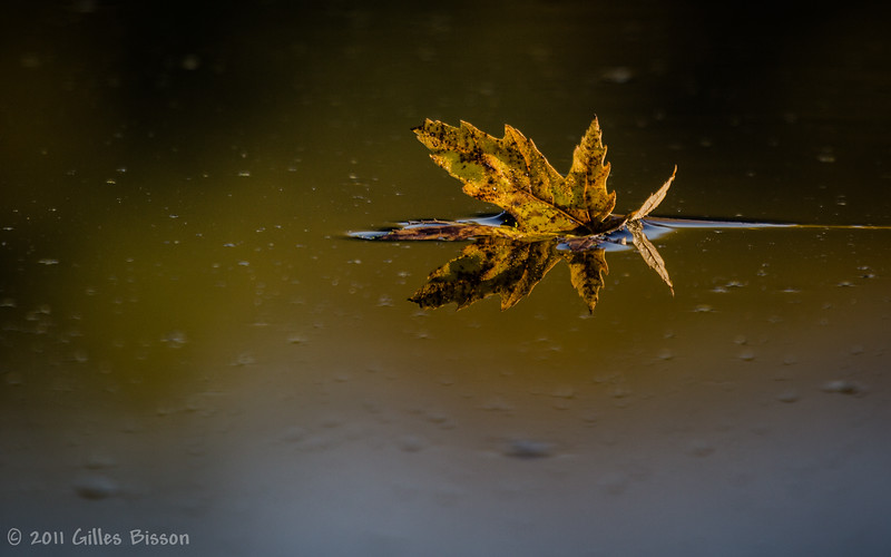 Floating Fall leaf in Moira River, Oct 10 2011