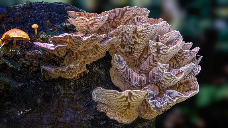 Mushrooms, Frink Conservation Area, October 05, 2020, Sony 7R4, 24-105mm, 1.3 sec, F11, ISO 64