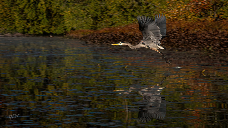 Great Blue Heron, Moira River, October 08, 2019, Canon EOS R, 1/200, F13, ISO 125