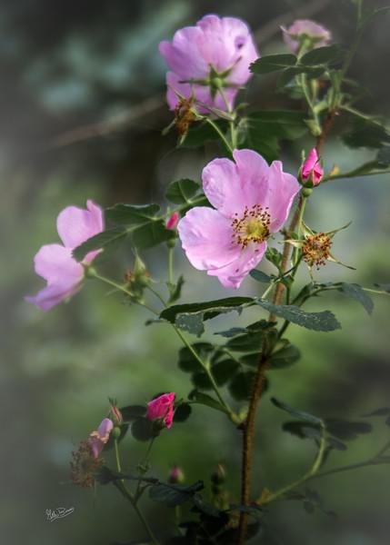 Wild flowers, Algonquin Park, June 24, 2018, Canon 6D, 24-105, 1/4 sec, F5.6, ISO 50