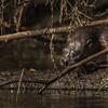 Otter, Moira river, Sept 9 2013, #6741,Canon T3i-100-400mm-1/1000-F7.1-ISO400-LR5