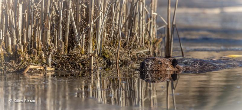 Beaver, December 19 2014, Frink Centre, Canon 6D, 100-400mm,1/1250,F7.1,ISO400