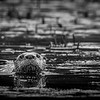 River Otter B&W, Moira river, September 28, 2020, sony A7RVI, 100-400mm, 1/160, F11.0, ISO 800