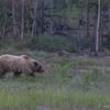 Grizzly, Alaska Highway, June 21 2012