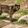 Wolves of Haliburton, April 28 2012