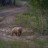 Grizzly Cub, Alaska Highway, June 21 2012